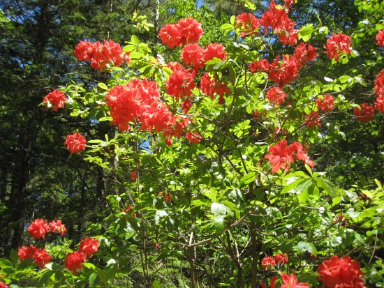 Milton, Kanada: There is such a variety to the colors of rhodies!