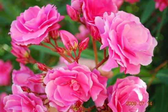 Bonitas Rosas Picture Of Botanical Gardens Jardin Botanico