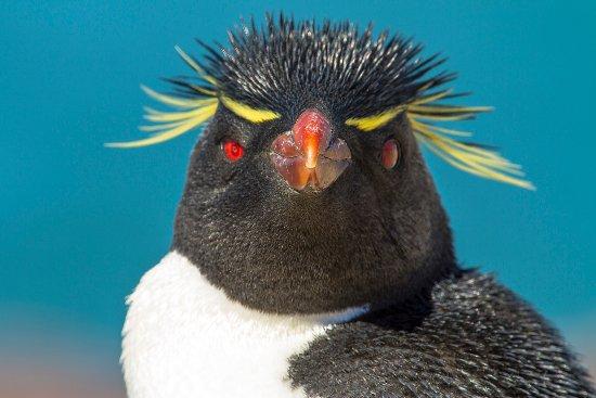 Puerto Deseado, Argentinië: Pinguino de Penacho Amarillo - Rockhopper Penguin