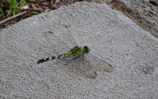 Folkston, Джорджия: Green Dragonfly