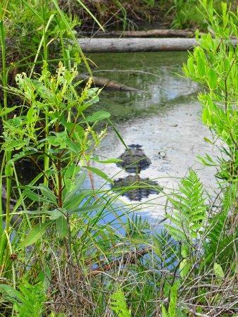 Folkston, Джорджия: Biggest Gator of the Day Floating