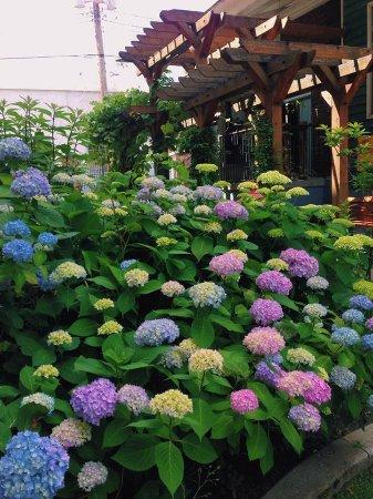 Hydrangeas blooming in our Heritage Garden