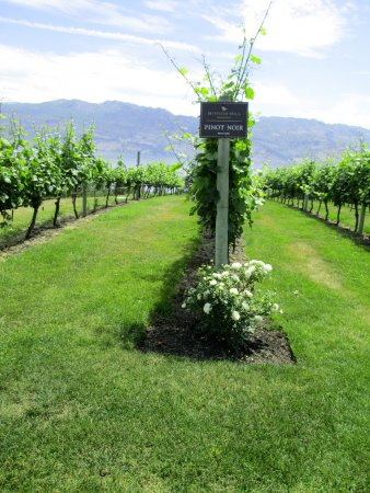 West Kelowna, Kanada: Roses in the pinot noir vines