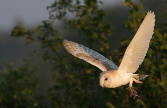 Hindolveston, UK: Barn Owl photos taken from Mary's garden