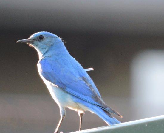 K Bar S Lodge: Mountain bluebirds were a common sight