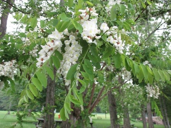 Bluff Point, NY: Black Locust trees in bloom at Keuka Lake State Park