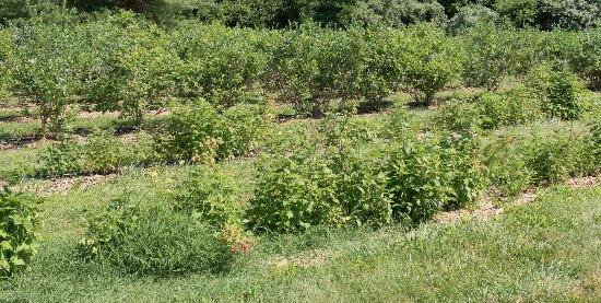 Clarksburg, NJ: Blueberry and other berry bushes