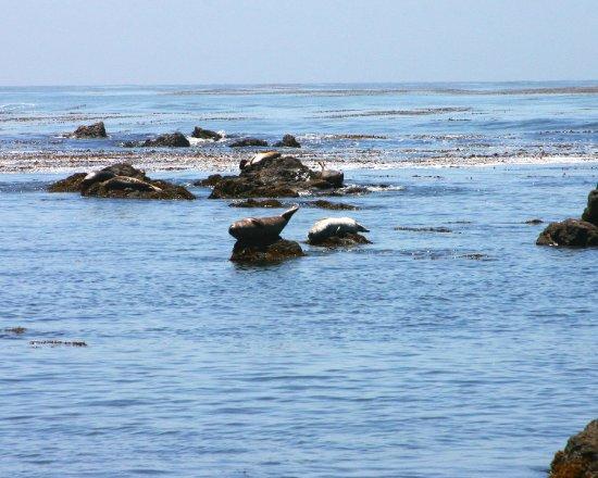 Cayucos, Californie : Seals on the rocks at Estero Bluffs