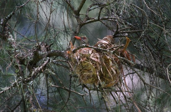 Kangaroo Valley, Australia: Oriole in a nest by the creek