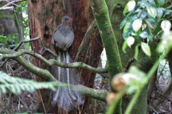 Fitzroy Falls, Austrália: superb lyrebird mimicing other bird calls