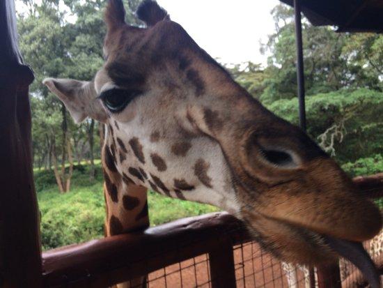 African Fund for Endangered Wildlife (Kenya) Ltd. - Giraffe Centre: photo1.jpg