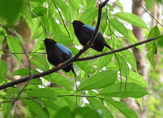 Monteverde, Costa Rica: Beautiful Long Tailed Manakins at Ficus Trails