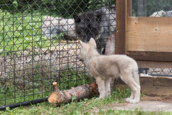 Ely, MN: Checking out the other wolves