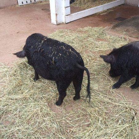 Cosley Zoo : Pigs