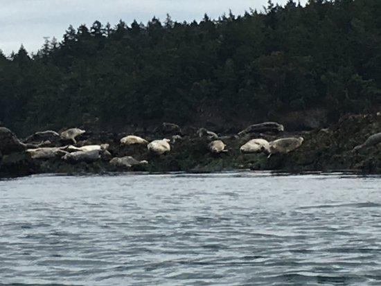 Shearwater Kayak Tours: Harbor seals during morning trip from Deer Harbor