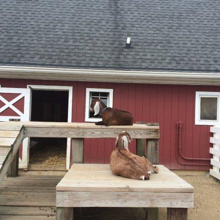 Cosley Zoo: Goats enjoying the day