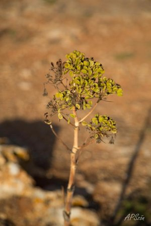 Dingli, Malta: растение