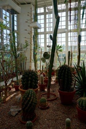 Uppsala, Sverige: Kakteen im Botanischen Garten