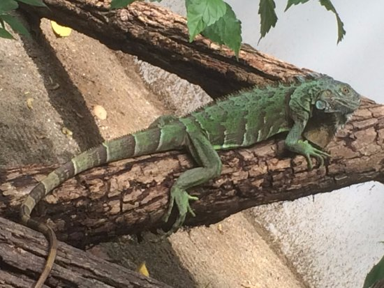 Mar y Luna Golfito: One of many large iguanas that live here