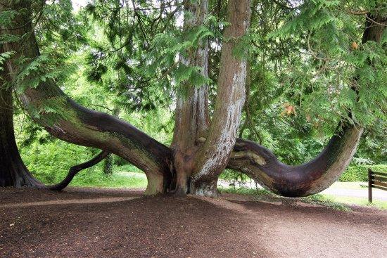 Kastil & Taman Blarney: Cedar tree