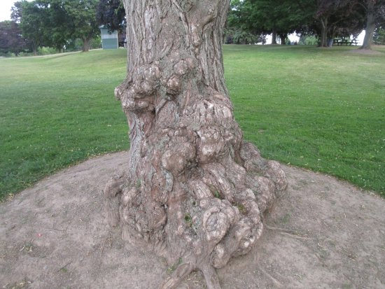Pultneyville, NY: B. Forman Park - interesting tree