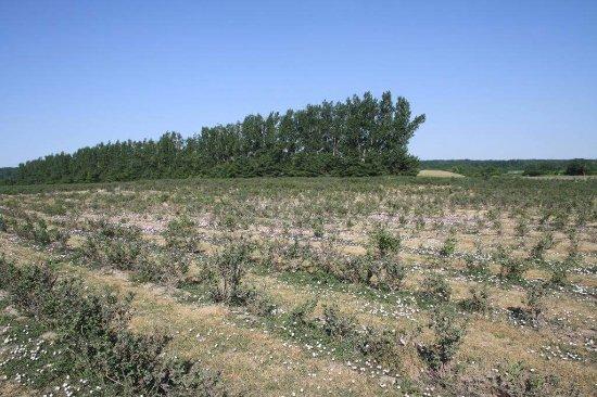 Halton Hills, Kanada: Fields of raspberries
