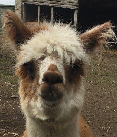 Thompson, UK: Meet Brian the Alpaca