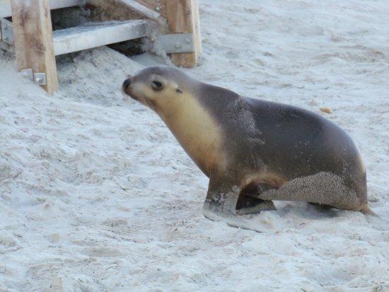 Kingscote, Αυστραλία: baby Sea lion