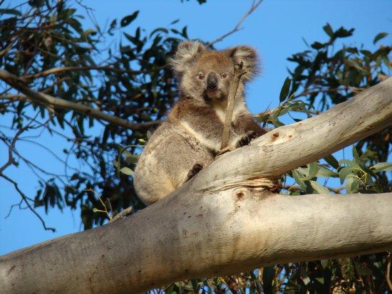 Kingscote, Αυστραλία: Koala