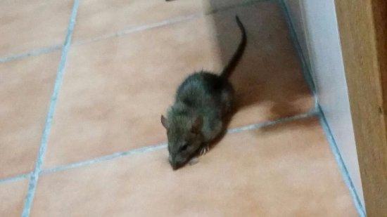 Farroupilha, RS: Rato no banheiro.