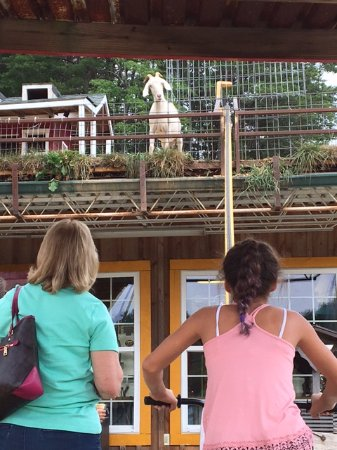 Tiger, GA: girl peddling the feeding cup up to the goat on the roof