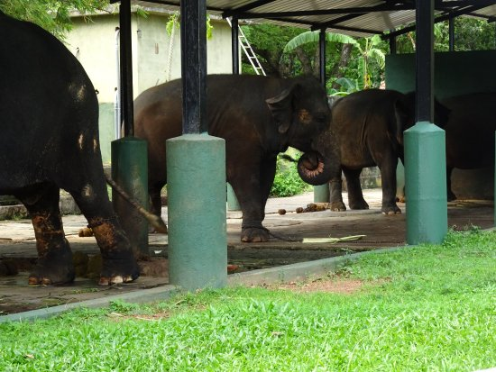 National Zoological Gardens of Sri Lanka: I feel sorry for these poor creatures, being chained up for parts of the day.