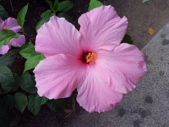 la flor t237pica de hawaii el hibisco que significa belleza