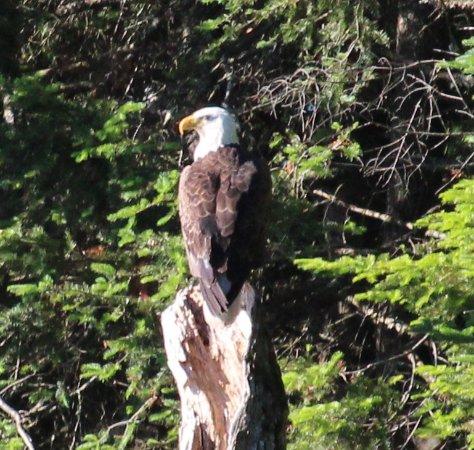 Boulder Junction, WI: bald eagle