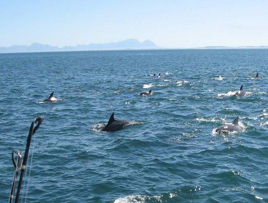 Gordon's Bay, جنوب أفريقيا: Dolphins on our Sunset Cruise Tours ⛵  Helderberg