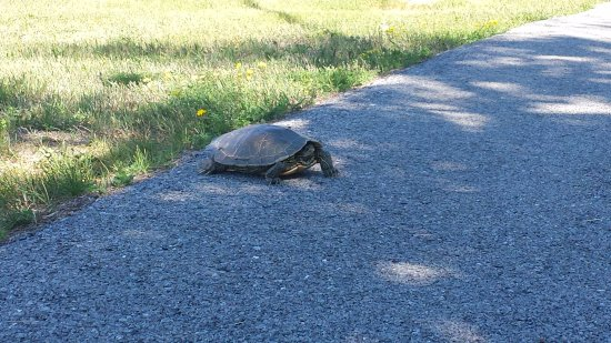 The Falls of Carillon: Turtle on the path