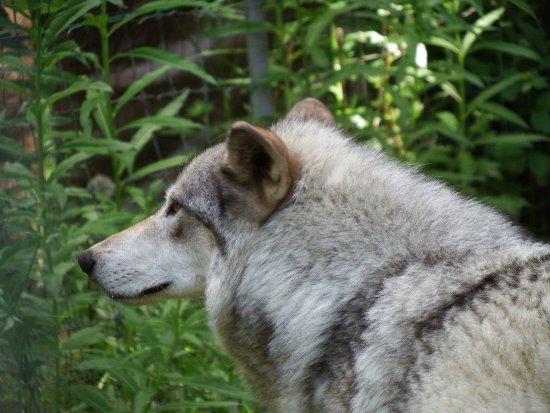Kroschel Films Wildlife Center: Isis the wolf