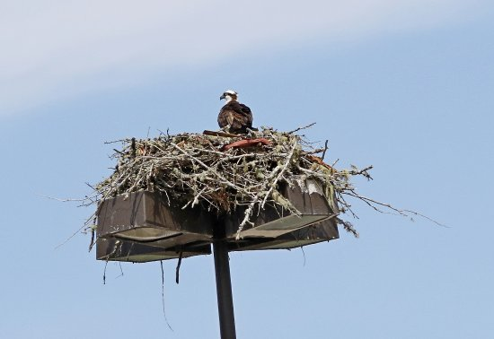 Osprey nest in the Lincoln City Outlet mall upper parking lot