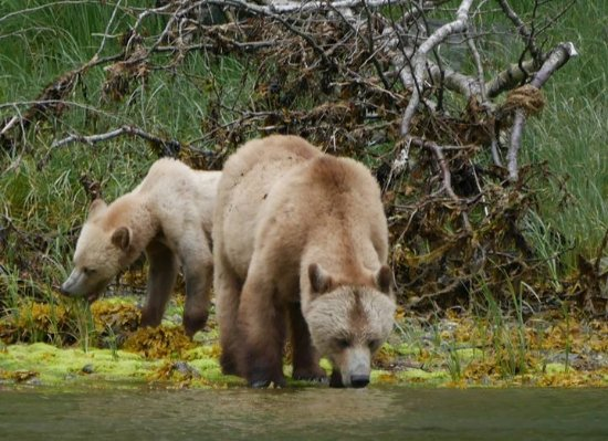 Glendale Cove, Canadá: Bears on the estuary tour