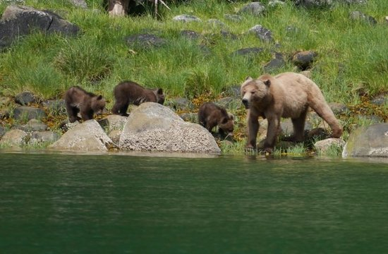 Glendale Cove, Canadá: Bear and cubs