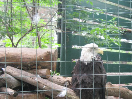 Visit the Zoo: Bald eagle