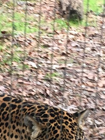 Ellen Trout Zoo : Jaguar