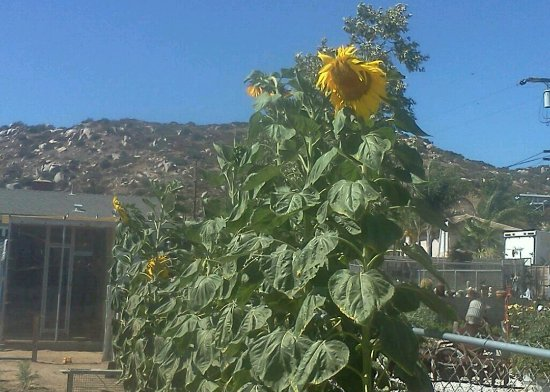 Lakeside, Californien: Sunflowers in the veggie garden