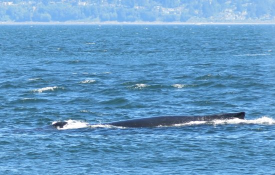 Puget Sound Express - Day Trips: Young Humpback whale! Nice tail action (not pictured) and spouts