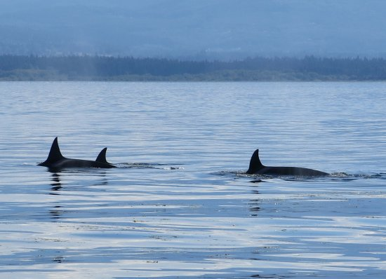 Puget Sound Express - Day Trips: We passed many Orcas travelling in pairs and groups, including others with young orcas.