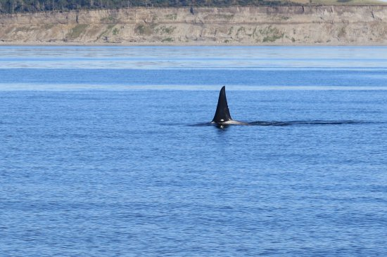 Puget Sound Express - Day Trips: Fin of a male orca travelling fast. Others were seen spy-hopping and belly waving!