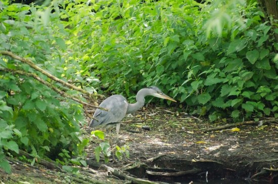 Staveley, UK: Heron prowling the lake shore