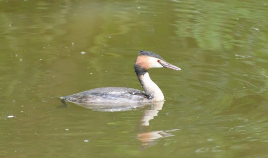 Staveley, UK: Great crested Grebe
