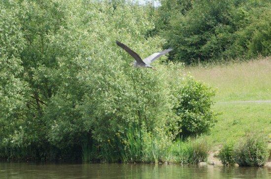 Staveley, UK: Heron in flight
