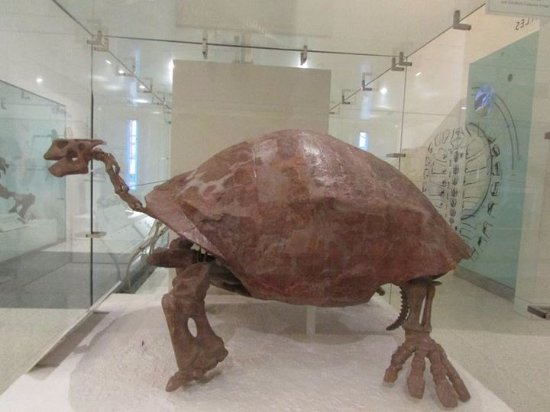 Giant Turtle In The Dinosaur Floor Picture Of American